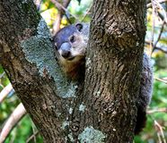Groundhog in a Tree. Groundhog, also known as a woodchuck, nestled in the crook of a tree royalty free stock images