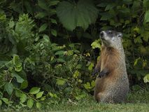 Groundhog up on hind legs royalty free stock image
