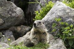 Groundhog voor zijn hol Stock Fotografie