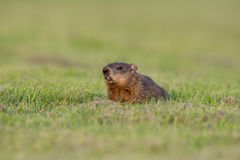 Groundhog w zielonym polu Obraz Stock