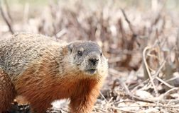 Groundhog walking Stock Images