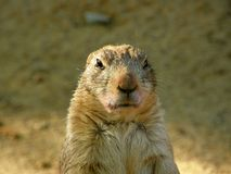 the groundhog is watching me closely royalty free stock photography
