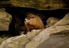 Groundhog/woodchuck Royalty Free Stock Photos