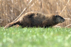 Groundhog (Woodchuck). Groundhog on lawn on the edge of a forest in Boucherville Quebec Canada Royalty Free Stock Photo