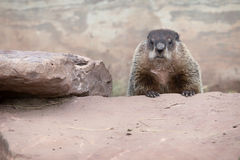 Groundhog or Woodchuck. Adult Woodchuck, or Groundhog stands peering over a rock royalty free stock image