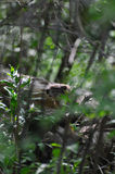 Groundhog in woods. On log hidden by brush royalty free stock photos