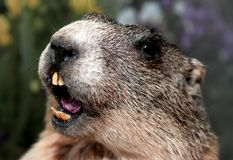 Groundhog with yellow teeth while whistling Royalty Free Stock Images