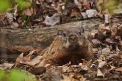 Groundhog in zijn hollen Stock Foto's