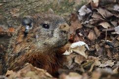 Groundhog in zijn hollen Stock Afbeelding