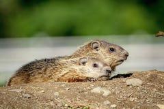 Groundhogs приходя из их отверстия Стоковое Фото