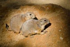 2 groundhogs Стоковые Изображения