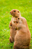 groundhogs Image stock
