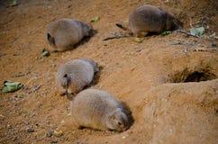 groundhogs Fotografia Stock Libera da Diritti