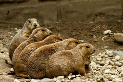 Groundhogs che si siede in una riga immagine stock