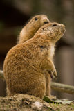 Groundhogs cuddling each other. (close up stock photos