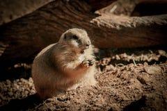 Groundhogs, das nach seinem Schatten sucht Stockfotos