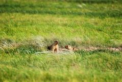 Groundhogs near the hole Stock Image