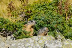 2 Groundhogs on a rock royalty free stock photography