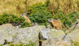 3 Groundhogs sitting on a rock. Watching royalty free stock images