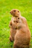 Groundhogs Stock Image