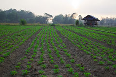 Groundnut farm on early morning Stock Photo