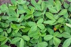Groundnut lub arachidu liści tło Obrazy Royalty Free