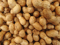 Groundnut, peanut, Arachis hypogaea. Food crop with underground pods containing chocolate brown oval seeds used roasted, as dry fruit and for extraction of Royalty Free Stock Photos