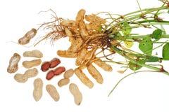 Groundnut Plant Stock Photos