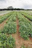 Groundnut plantaci łata. Fotografia Royalty Free