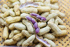 Groundnut Ripe Boil. The boiled peanuts food closeup stock image