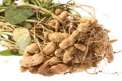 groundnuts изолировали сырцовое Стоковое Изображение