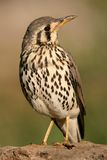Groundscraper thrush Royalty Free Stock Image