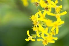 Groundsel (ovatus del senecio) Fotografia Stock Libera da Diritti