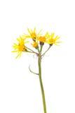 Groundsel (Tephroseris crispa) Zdjęcie Stock