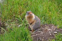 Groundsquirrel coming out of his hiding place Stock Image