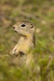 Groundsquirrel de Belding Imagen de archivo