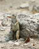 Groundsquirrel di seduta Fotografia Stock Libera da Diritti
