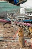 Groundsquirrel on Junkyard Stock Photos
