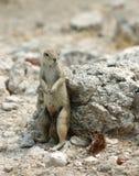 Groundsquirrel que se sienta Foto de archivo libre de regalías