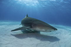 Groundwork. A close up on a lemon shark swimming along the sea bed, Bahamas Royalty Free Stock Images