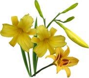 Grounp of yellow lily flowers  on white Stock Photos