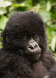 Group 13 young Male Mountain Gorilla. Virunga Mountains (Parc National Volcans), Rwanda Stock Photo