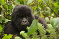 Group 13 young Male Mountain Gorilla. Virunga Mountains (Parc National Volcans), Rwanda Royalty Free Stock Photography