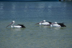 Group of 3 pelicans Royalty Free Stock Images