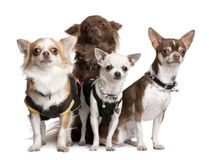 Group of 4 chihuahuas dressed-up Stock Photo