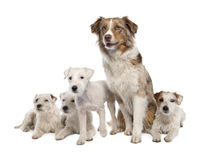 Group of 4 Parson Russell Terrier and a Australian Royalty Free Stock Photography
