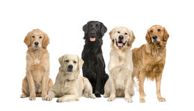Group of 5 golden retriever and labrador facing th Royalty Free Stock Photography