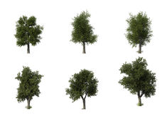 Group of 6 CG oak trees Stock Image