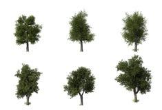 Group of 6 CG oak trees Stock Image