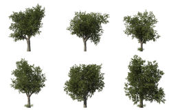 Group of 6 CG oak trees Royalty Free Stock Photos